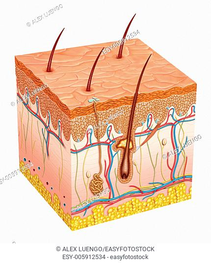 Schematic image of a segment of human skin where you can appreciate and see the different layers and elements that compose
