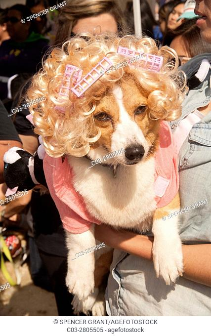 A Welsh Corgi dog wears a blonde wig, curlers and a pinh dress at a Corgi dog festival on the sand in Huntington Beach, CA
