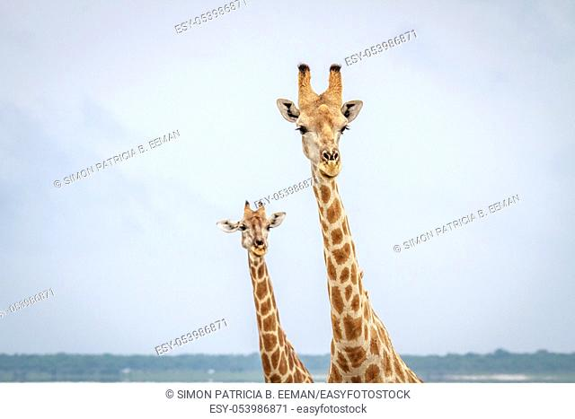 Giraffes looking at the camera in the Etosha National Park, Namibia