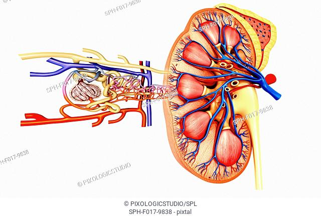 Illustration of the nephron structure in a kidney
