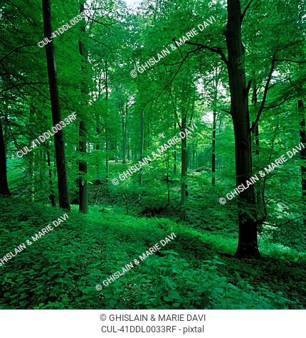 Leafy undergrowth in forest