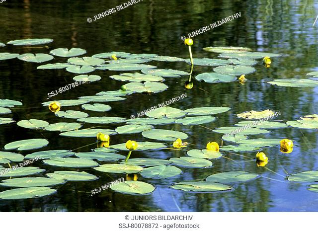 DEU, 2007: Yellow Pond Lily, Yellow Water Lily (Nuphar lutea), flowering stand