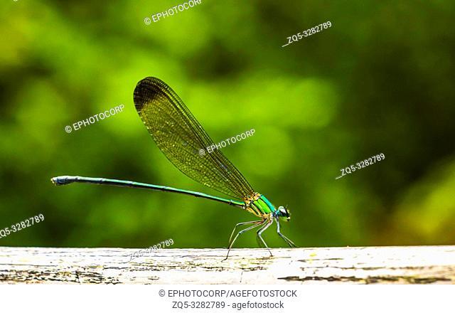 Stream glory damselfly or Neurobasis chinensis, Bajpe, Mangalore, Karanataka, India