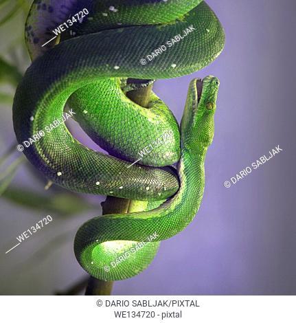Green Tree Pyton, Morelia Viridis