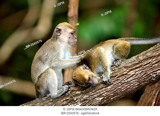 Two long-tailed macaques (Macaca fascicularis), grooming, social behavior, Labuk Bay, Sabah, Borneo, Malaysia, Asia
