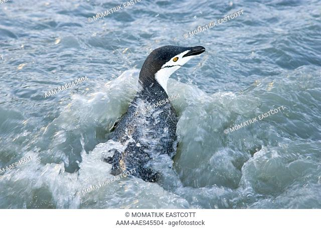 Chinstrap Penguin (Pygoscelis antarctica) flapping wings and walking on beach in surf, evening, Cooper Bay, Southern Ocean, Antarctic Convergance