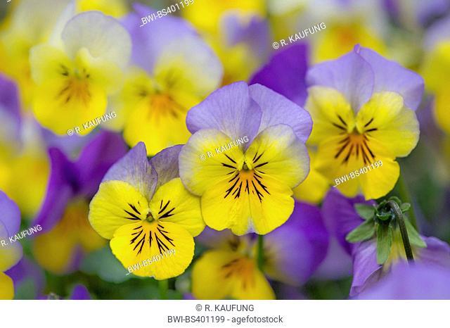 horned pansy, horned violet (Viola cornuta), blooming