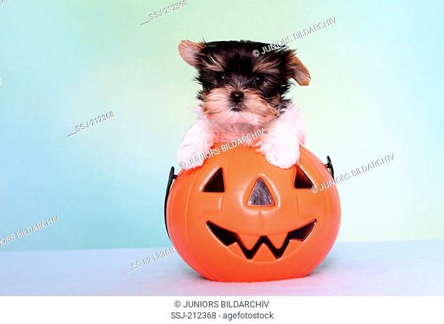 Biewer Terrier. Puppy (7 weeks old) in a jack-o-lantern. Studio picture against a blue background. Germany