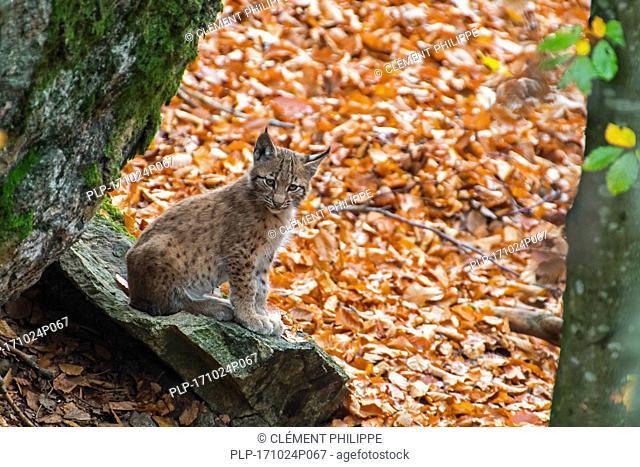 Cute two month old Eurasian lynx (Lynx lynx) kitten in autumn forest sitting on rock near den