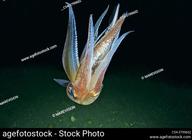 Common squid. Squid (Loligo vulgaris). Eastern Atlantic. Galicia. Spain. Europe