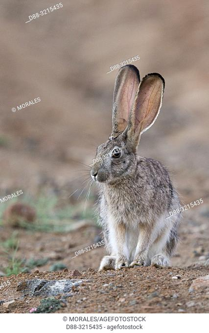 South Africa, Private reserve, Scrub hare (Lepus saxatilis)