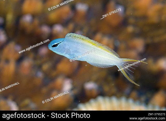 Yellowtail Fangblenny (Meiacanthus atrodorsalis), Muara Channel dive site, Sermata Islands, near Alor, Indonesia