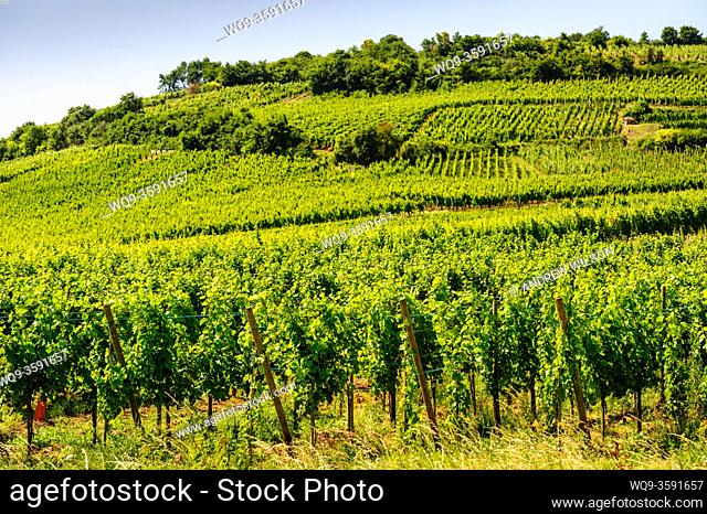 Vines growing on the foothills of the Vosges Mountains near Sigolsheim, Alsace, France