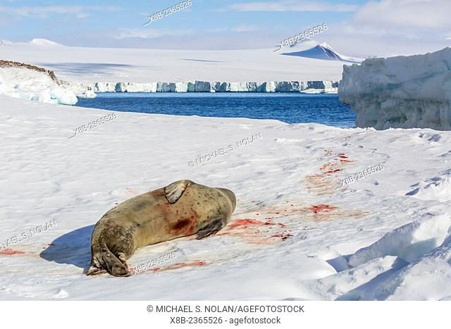 Wounded adult leopard seal, Hydrurga leptonyx, hauled out on ice at Brown Bluff, Tabarin Peninsula, Antarctica