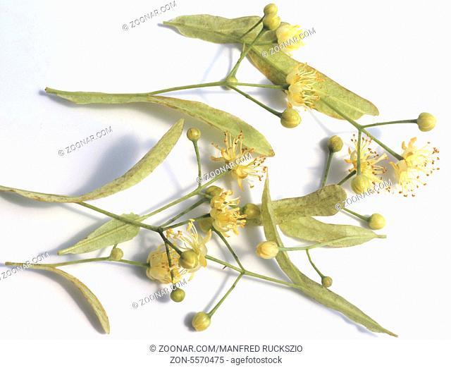 Lindenblueten, Tilia platyphyllos