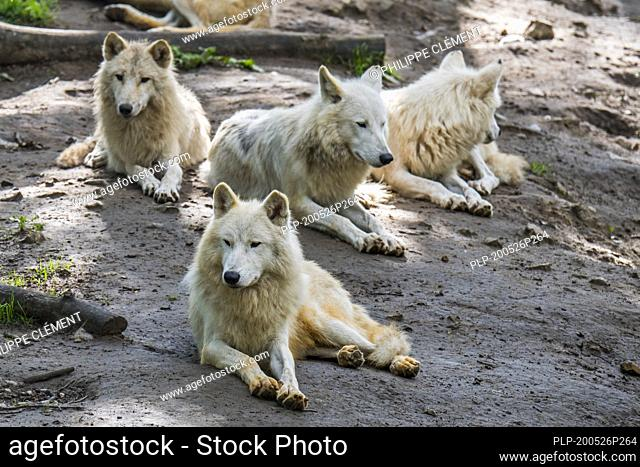 Hudson Bay wolf pack (Canis lupus hudsonicus) white wolves, native to Canada, resting near den