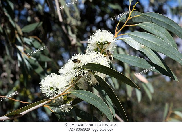 Soap mallee (Eucalyptus diversifolia) is a tree native to south Australia. Flowers and leaves detail