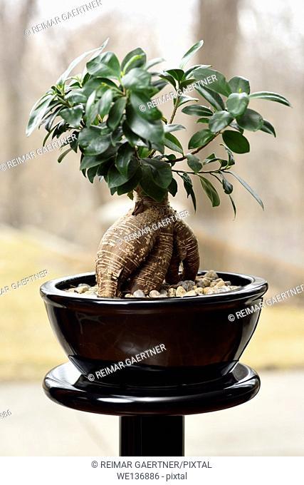 Bonzai Money Tree in black pot on a pedestal