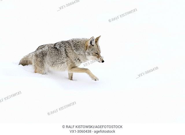 Coyote (Canis latrans), in winter, walking through deep fresh snow, lifting its paw to get through the snow, Yellowstone NP, USA