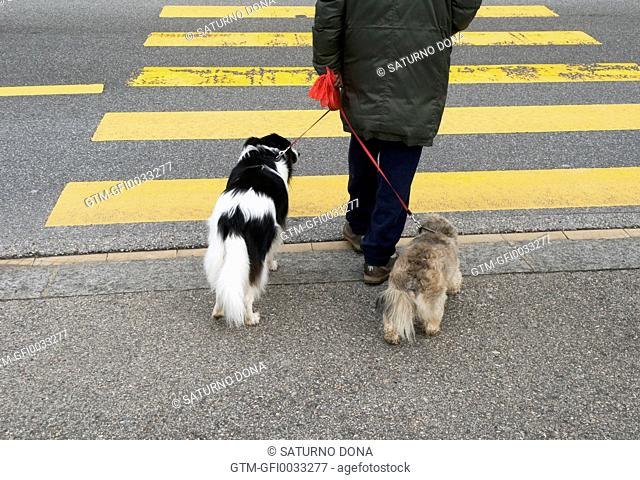 Crossing road with dogs
