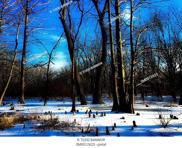 Frozen bald cypress swamp. Cook County Illinois