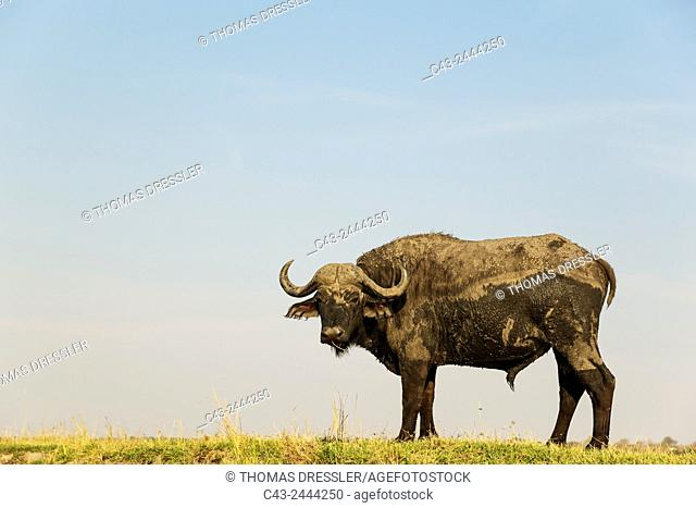 Cape Buffalo (Syncerus caffer caffer) - Bull at the bank of the Chobe River. Photographed from a boat. Chobe National Park, Botswana