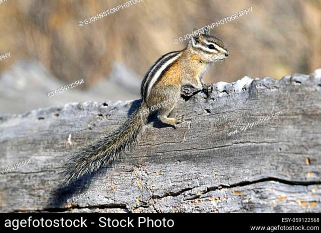 A chipmunk sits on top of a fallen log at turnbull wildlife refuge in Cheney, Washington