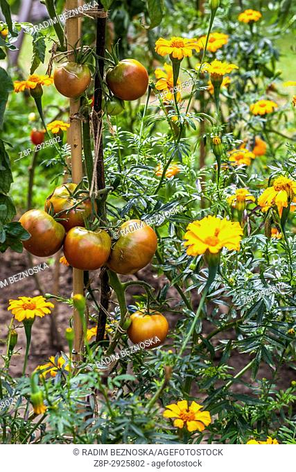 French marigold grown together with tomatoes