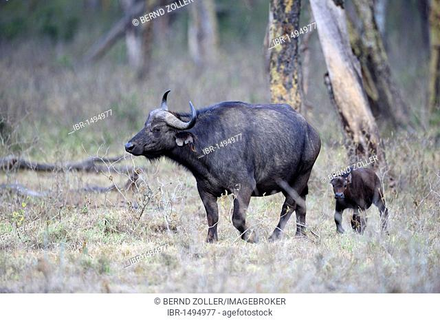 African buffalo (Syncerus caffer), cow with calf, Lake Nakuru National Park, Kenya, East Africa, Africa