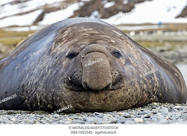 United Kingdom, South Georgia Islands, Saint Andrews plains, Southern Elephant Seal, Mirounga leonina, male