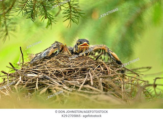 American robin (Turdus migratorius) Two fledglings in nest, Greater Sudbury, Ontario, Canada