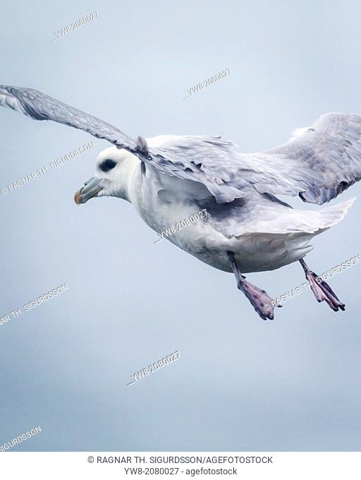 Fulmar in the air. Northern Fulmar, Fulmarus glacialis