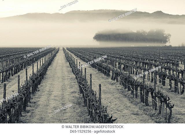 USA, California, Northern California, North Coast, Ukiah, vineyard in winter, foggy dawn