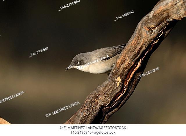 Orphean Warbler Sylvia hortensis. Photographed in the Sierra de Guadarrama