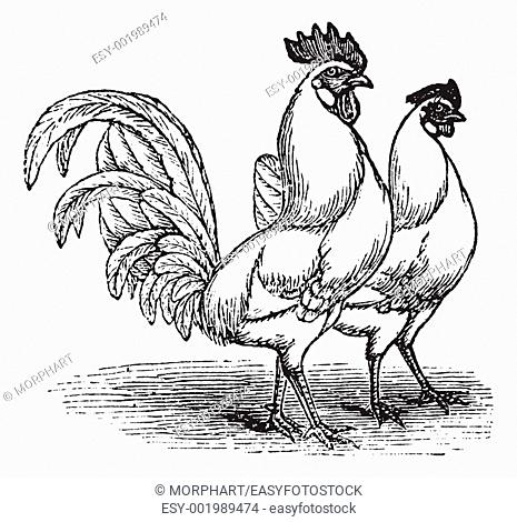 Male and female of White Leghorns chicken, vintage engraving  Old engraved illustration of Male and female of White Leghorns chicken