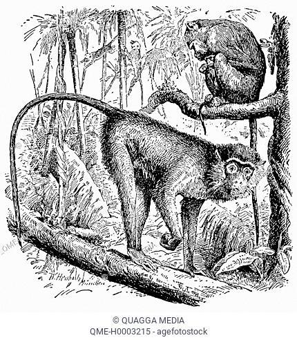 Pair of green monkeys, Cercopithecus sabaeus
