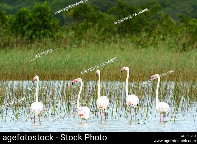 Greater Flamingo (Phoenicopterus roseus). Kosi Bay. KwaZulu Natal. South Africa