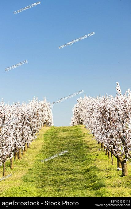 Landscape with blossoming orchard in Spring