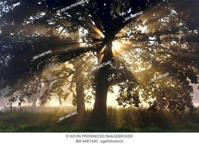 Solitary oak tree, English oak (Quercus robur) with sunbeams, River Elbe Floodplains at sunrise, foggy atmosphere, Middle Elbe Biosphere Reserve, Saxony-Anhalt