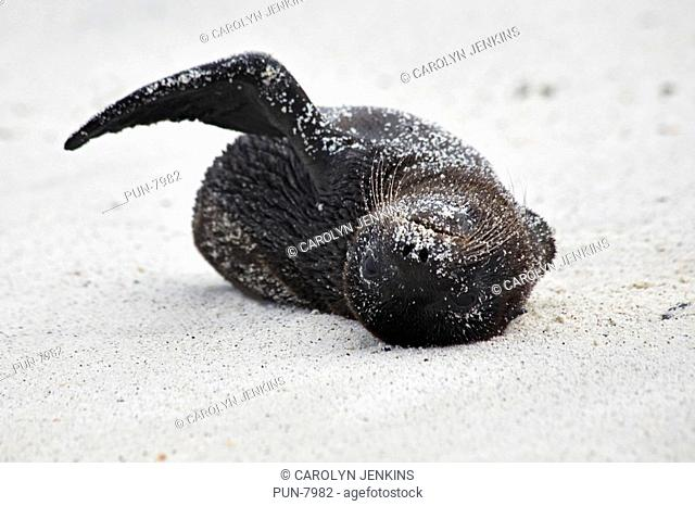 Galapagos sea lion pup Zalophus wollebacki frolicking on the beach at Gardner Bay, Espanola Island