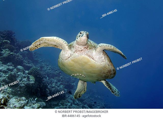 Green turtle (Chelonia mydas) with barnacles (Balanidae) swimming over coral reef, Indian Ocean, Maldives