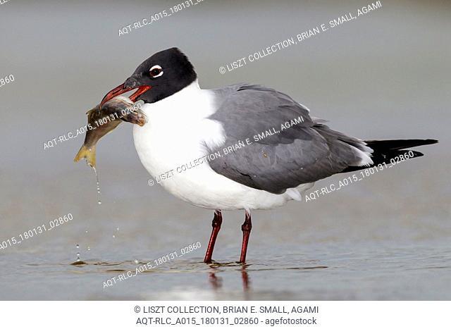 Larus atricilla, Laughing Gull, Leucophaeus atricilla