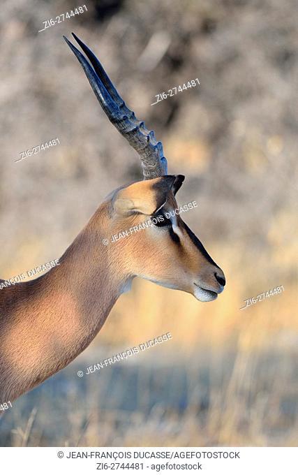 Black-faced impala (Aepyceros melampus petersi), adult male, in the morning light, Etosha National Park, Namibia, Africa