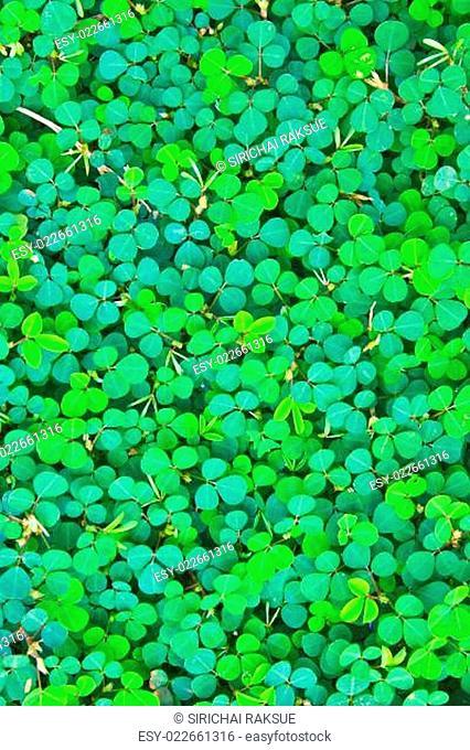 Pattern. Oxalis acetosella .background nature
