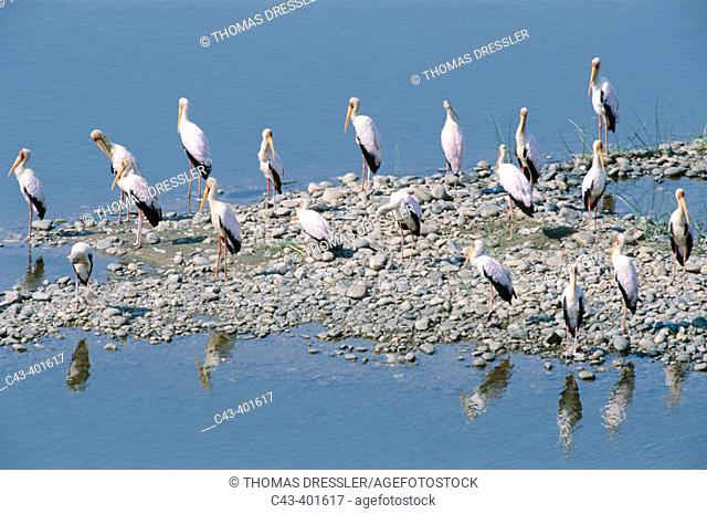 Yellow-billed Storks (Mycteria ibis). Resting at a little island in the Olifants river. Kuruger National Park. South Africa