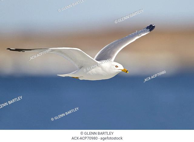 Herring Gull (Larus argentatus) flying in Churchill, Manitoba, Canada