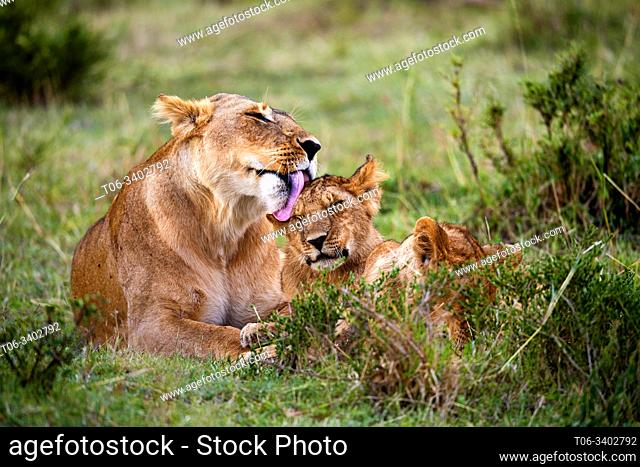 Lion (Panthera leo) mother licking cub. Masai Mara National Reserve, Kenya