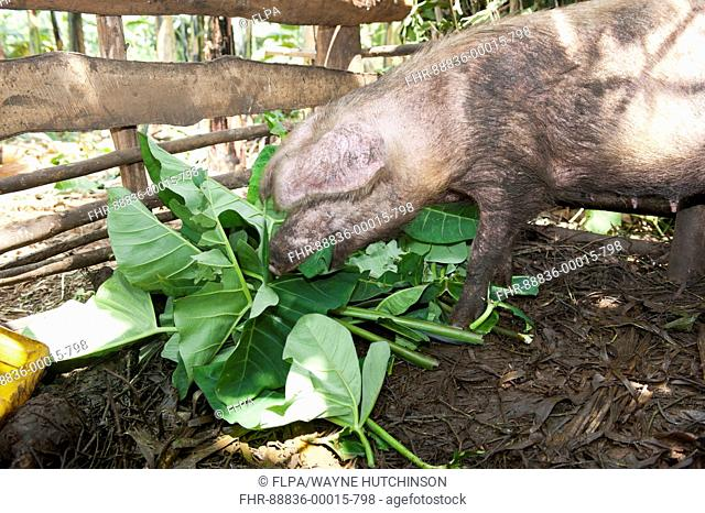 Rwandan child looking after a captive pig in a pen, giving it food and water