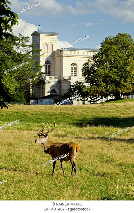 Red deer near Putbus palace church, Ruegen, Mecklenburg-Western Pomerania, Germany