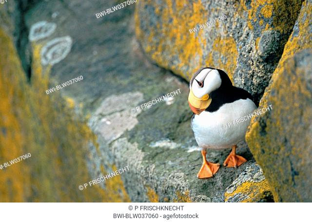 horned puffin Fratercula corniculata, standing on rocks, looking downwards, USA, Alaska